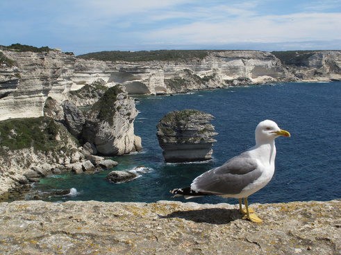 seagull in bonifacio