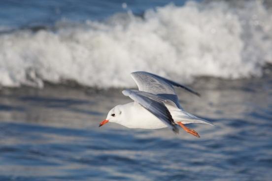 seagull sea baltic sea