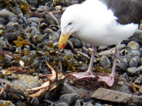 seagull vs crab