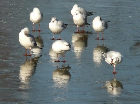 seagull winter ice