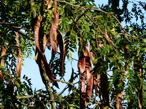 seed pods seeds honey locust