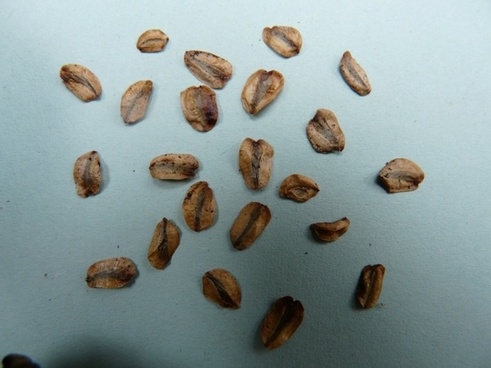 seeds sequoia seeds germ