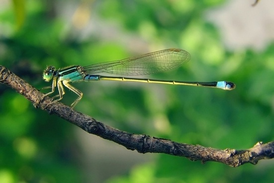 senegal-pechlibelle dragonfly ischnura senegalensis