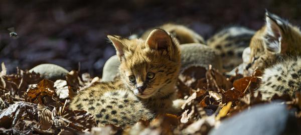 serval babies together