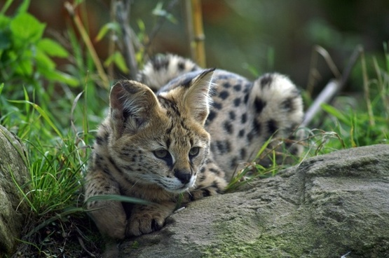 serval small cat wildcat
