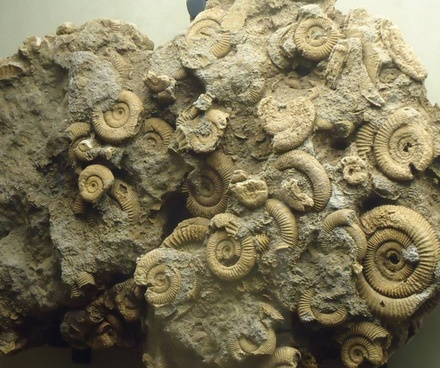 several small ammonites preserved on rock