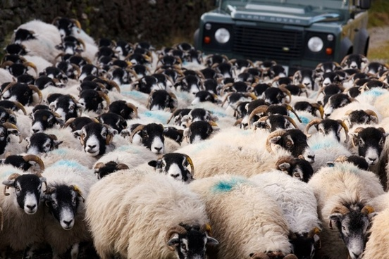 sheep and car