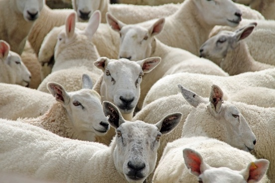 sheep animal livestock