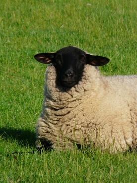 sheep curious view