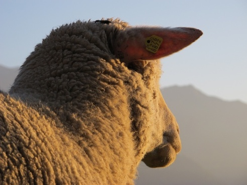 sheep evening sun lighting