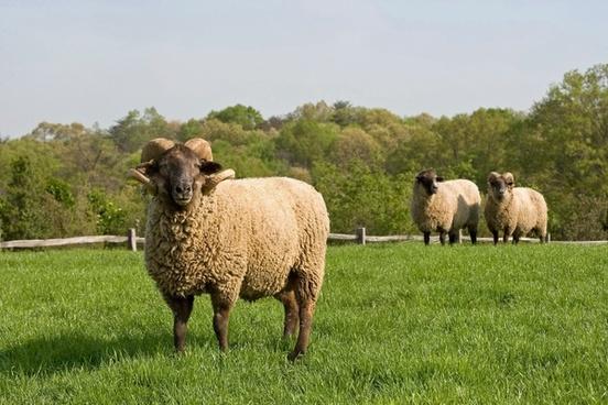 sheep farm rural