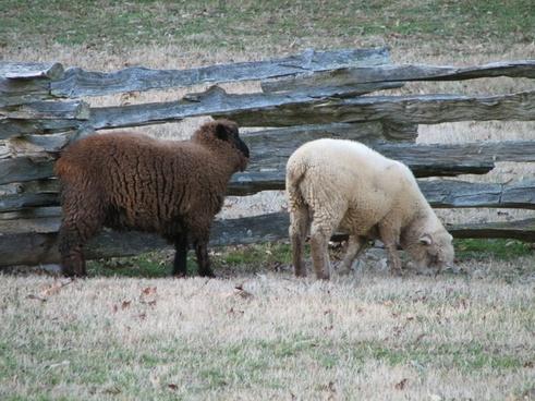 sheep flock of sheep animal