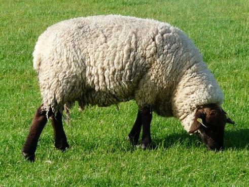 sheep graze wool