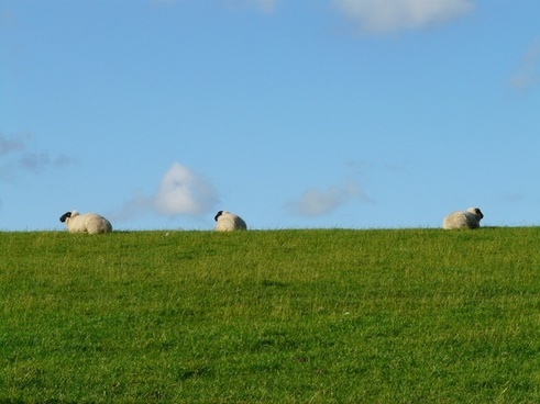 sheep group rest