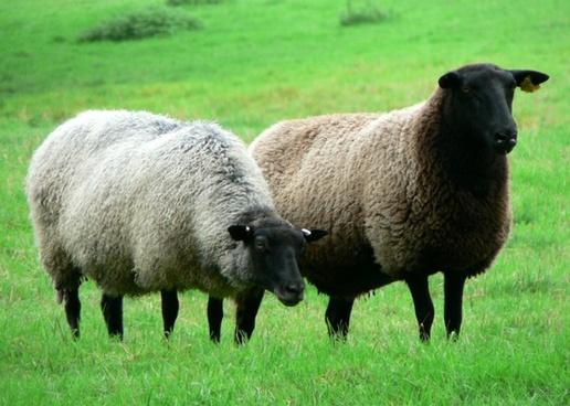 sheep herd alm