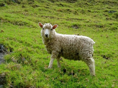sheep in a green pasture