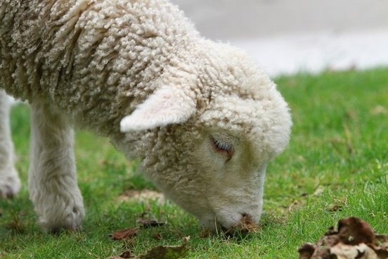 sheep lamb new zealand