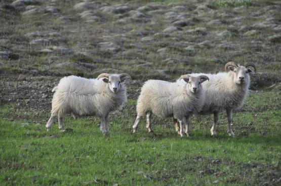 sheep pasture animals