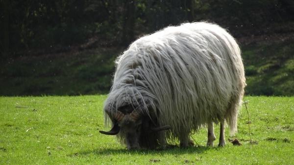 sheep pasture heide
