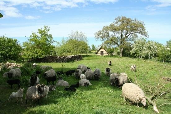 sheep pasture nature