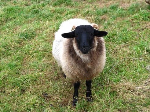 sheep pets wool