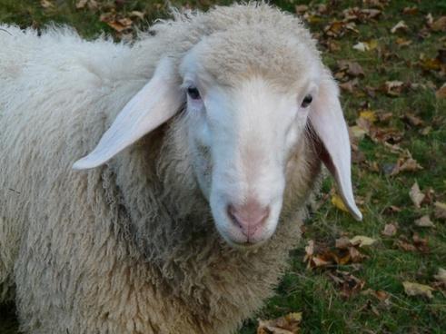sheep sheep face face
