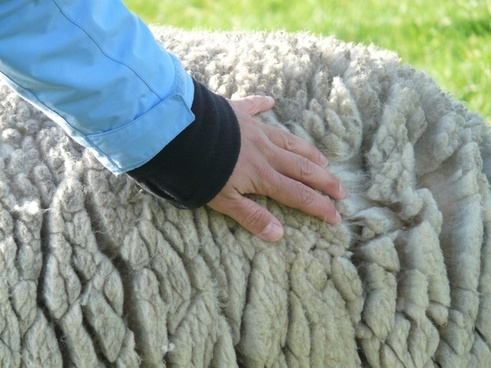 sheep's wool wool stroke