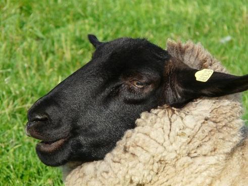 sheepshead face sheep