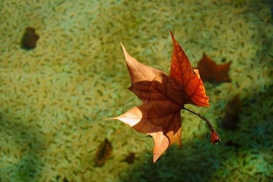 sheet autumn dry leaf