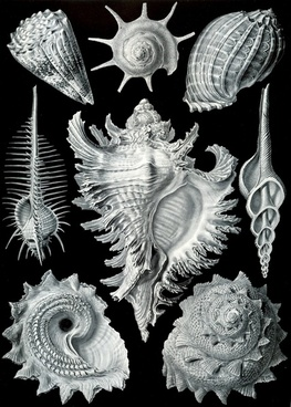 shellfish mussels murex pecten