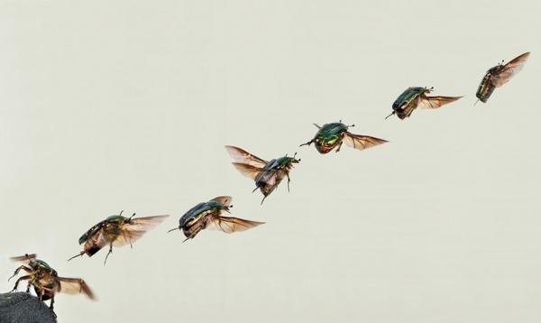 shiny rose gold beetle beetle cetoniinae