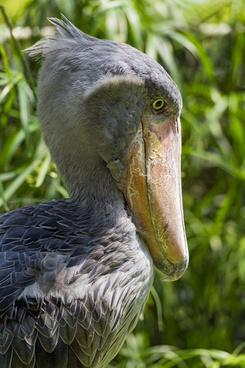 shoebill bird profile