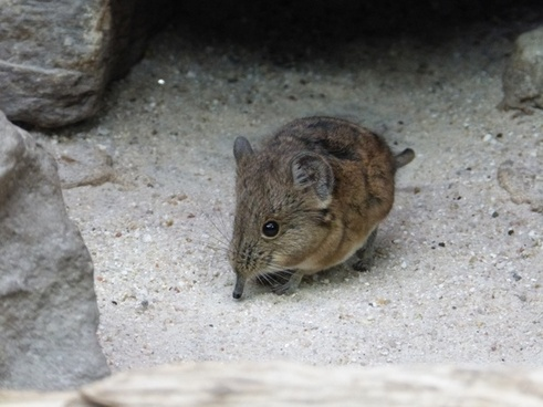 short eared elephant shrews mouse animal