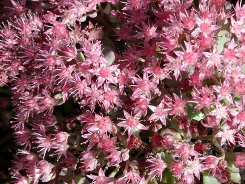 siebold stonecrop flower pink