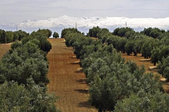 sierra nevada snow caped olive tree