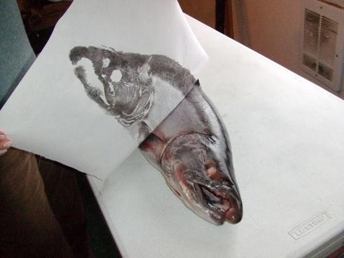 silver salmon fish