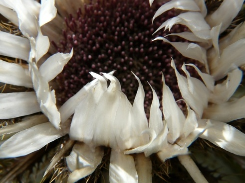 silver thistle carlina acaulis thistle
