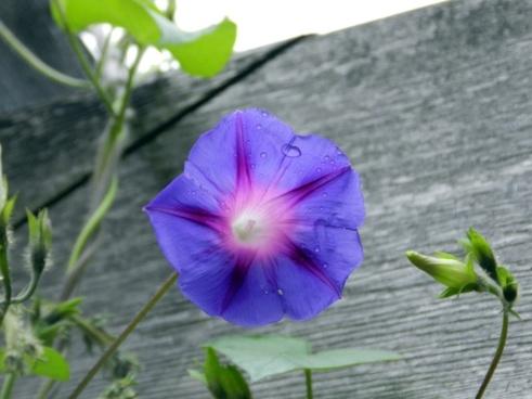 silvestre flower dew drop