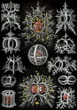 single celled organisms radiolarians radiolaria