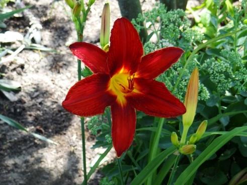 single daylily