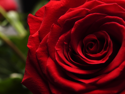 single red rose close up