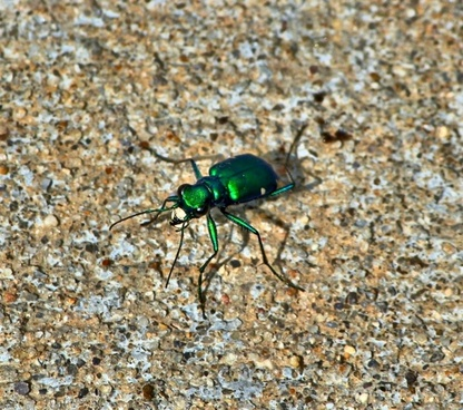six spotted tiger beetle green bug green insect