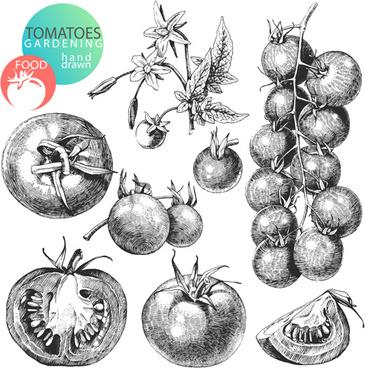 sketch tomato design vector