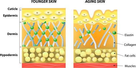skin structure diagram vectors