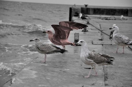 skyrocket seagull