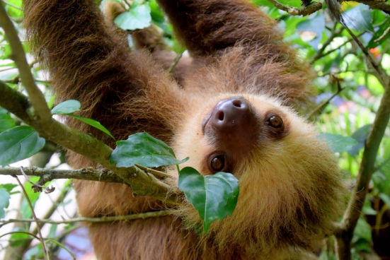 cute sloth swinging on tree