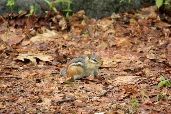 small chipmunk at rib mountain state park wisconsin