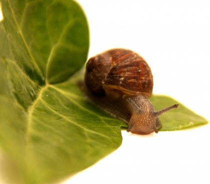snail animal leaf