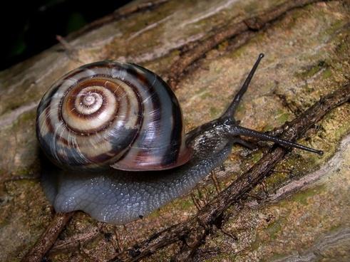 snail land snail euhadra peliomphala