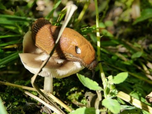 snail mushroom food